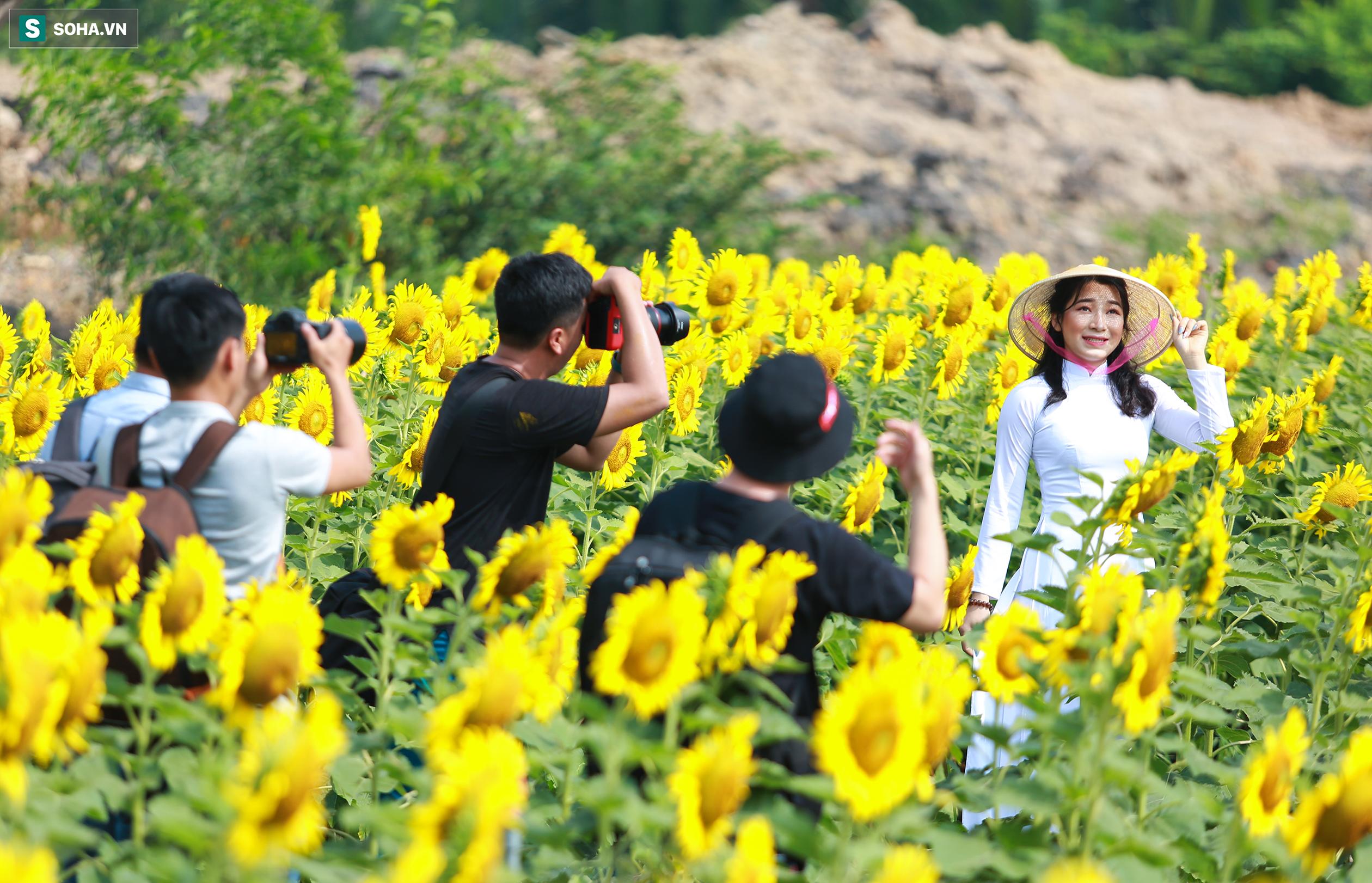Rất nhiều nhiếp ảnh gia, các tay săn ảnh lựa chọn cánh đồng hoa hướng dương là địa điểm 'tác nghiệp' thường xuyên trong những ngày này.