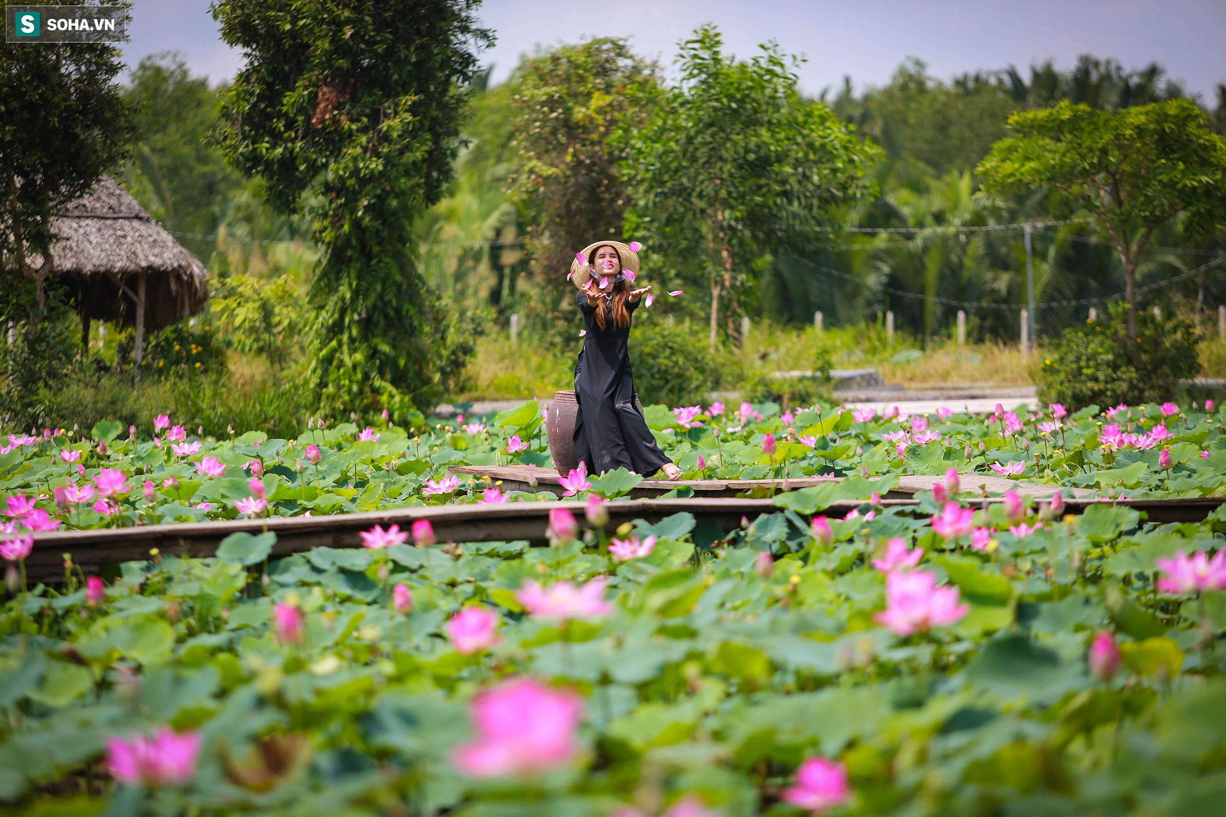 Nằm sát bên cánh đồng hoa hướng dương là một đầm sen khoảng 3.000m vuông được gia đình ông Sáng trồng từ nhiều năm nay, hiện cũng đang nở rộ, thu hút đông đảo khách tới chụp ảnh.